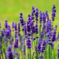 Lavender Beard Oil Recipes