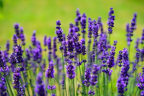 Best Beard Oil Recipes Made With Lavender