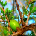 argan oil from argan tree